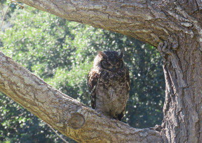 The wise owl checking all below in Kirstenbosch